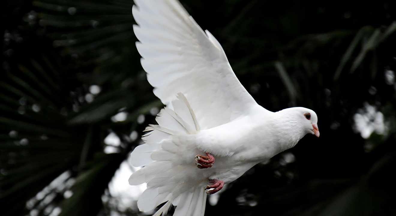image of flying dove